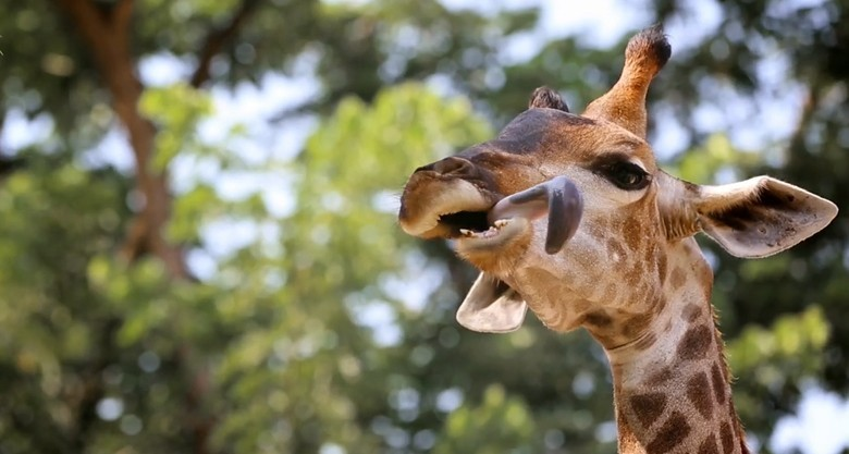 giraffe with tongue out